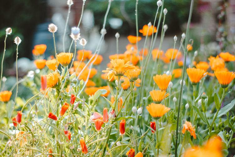 Close-up of orange flowering plants on field
