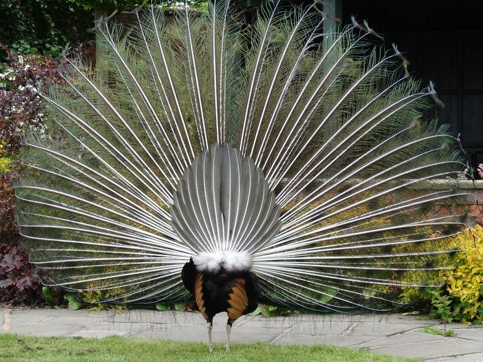 Peacock with feathers fanned out on field