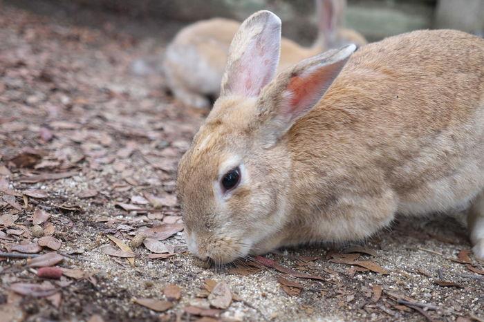 Animal Head  Animal Themes Brown Close-up Day Focus On Foreground Mammal Nature No People Okunoshima Outdoors Rabbit Rabbits Selective Focus うさぎ 兎 大久野島