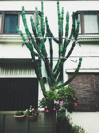 Cactus Town Giant