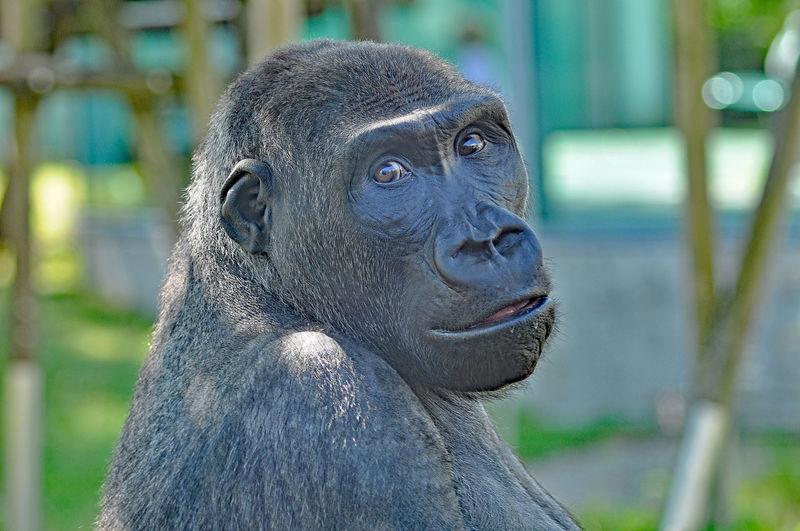 Close-Up Portrait Of Gorilla In Zoo
