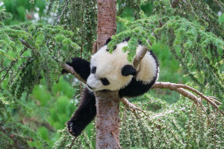 Close-up of giant panda on tree