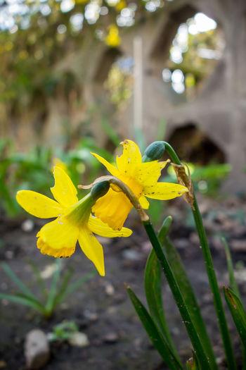 Blooming Day Flowers Focus On Foreground Freshness Frühling Garten Pflanze Natur Gelbe Narzisse Leipzig Nature Osterglocken Yellow
