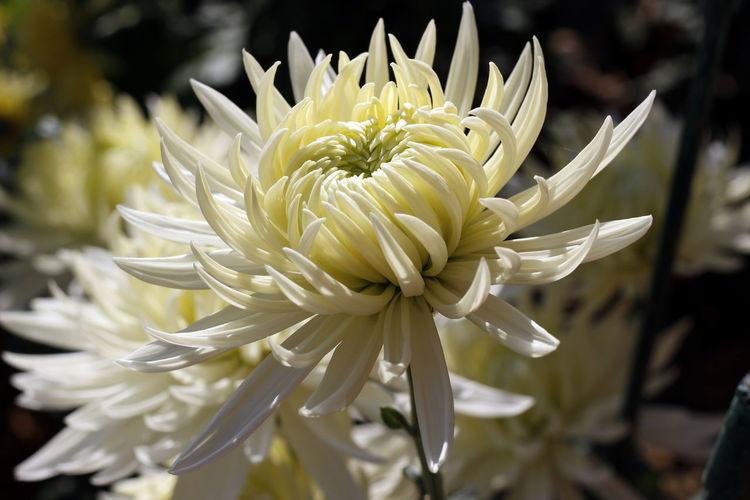 Close-up of white chrysanthemums