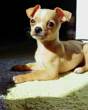Adorable Puppy Oscar he's only 2 months old in this photo. He's always Enjoying The Sun I Love My Dog❤ Cuttest Thing Ever Cute Pets Cute♡