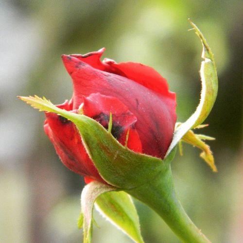 Red Rosebud Symbolic  of Purity and Loveliness Instamorning Daystarted Rose4U PhotoShare Symbol Of ♥ Click4Like Rose4U Floweroftheday Instacapture Tag4like Followforfollow .