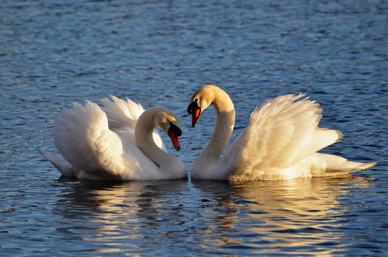 Swans with love Animal Animal Themes Beauty In Nature Bird Day Floating Heartshape Lake Love Nature No People Outdoors Positive Emotions Raised Reflection Romantic Swan Swimming Tranquility Two Animals Water Water Bird White Color Wildlife Wing