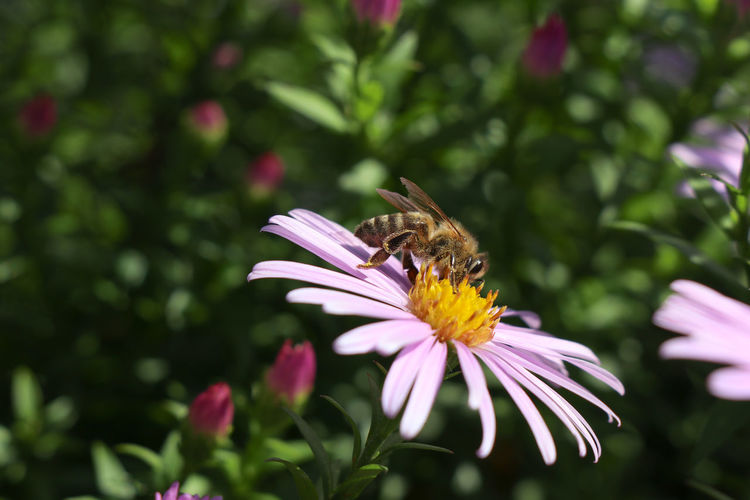Bee on flower Flowering Plant Flower Fragility Vulnerability  Beauty In Nature Petal Freshness Plant Insect Flower Head Invertebrate Animal Themes Growth One Animal Animals In The Wild Animal Inflorescence Animal Wildlife Close-up Pollen Pollination No People Purple Butterfly - Insect Bee