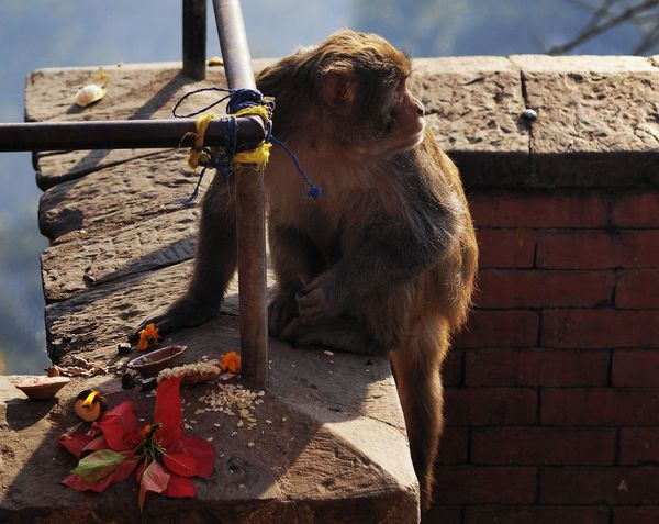 A mischievous macaque helps itself to a religious offering a woman has placed near a temple only a minute previously, while looking furtively around to check the woman is not coming back. Crafty Close-up Cunning Day Eating Out Furtive Macaque Mammal Mischievous Monkey Business No People One Animal Outdoors