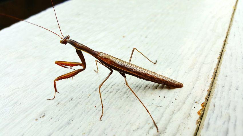 Preying Mantis aka buggy mcbugsface Insect Side View No People Animal Antenna Zoology Bug Bugs Life