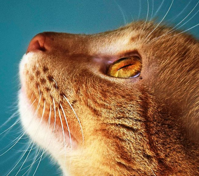 Looking up Macro The Portraitist - 2018 EyeEm Awards Animals In The Wild Animal Themes Animal Wildlife Animal Zoo Animals  Zoology Zoo Color EyeEm Selects Pets Close-up Feline Cat Domestic Cat Ginger Cat Yellow Eyes Tabby Cat Siamese Cat At Home Animal Eye Stray Animal Persian Cat  Whisker Leopard Tabby Kitten