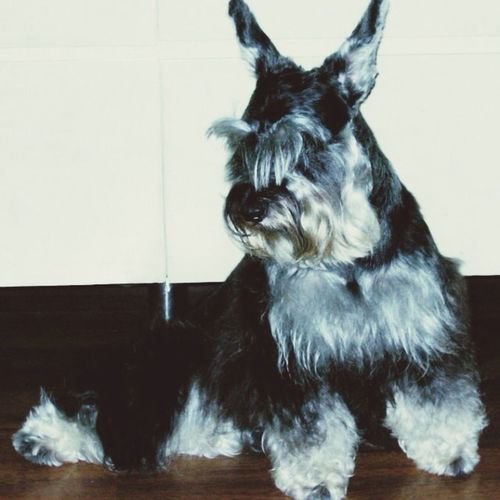 My Sassee girl! Minischnauzer Pet Dog