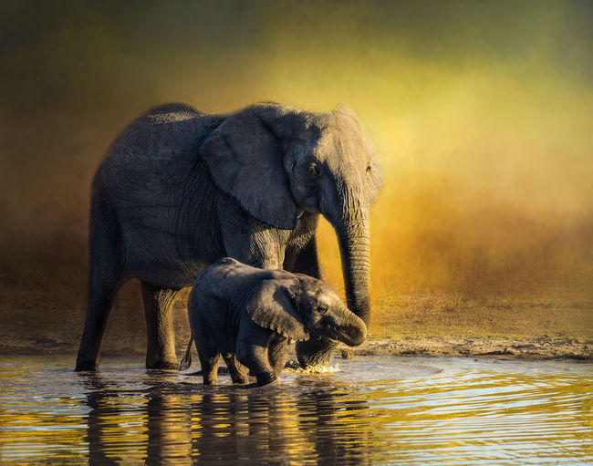 View of elephant in water at sunset