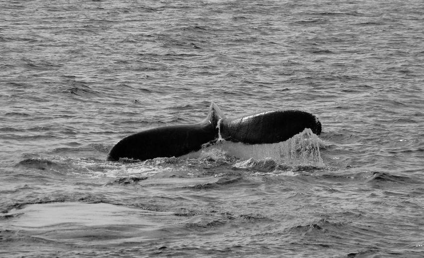 Horse swimming in sea