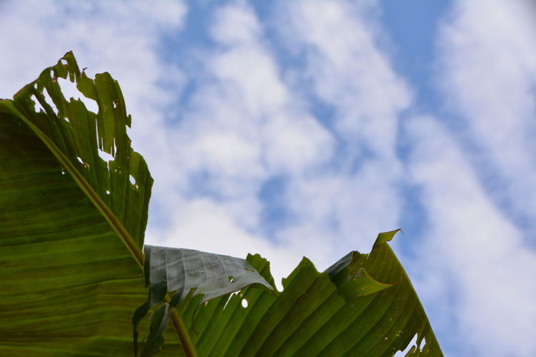 Low angle view of banana tree against sky