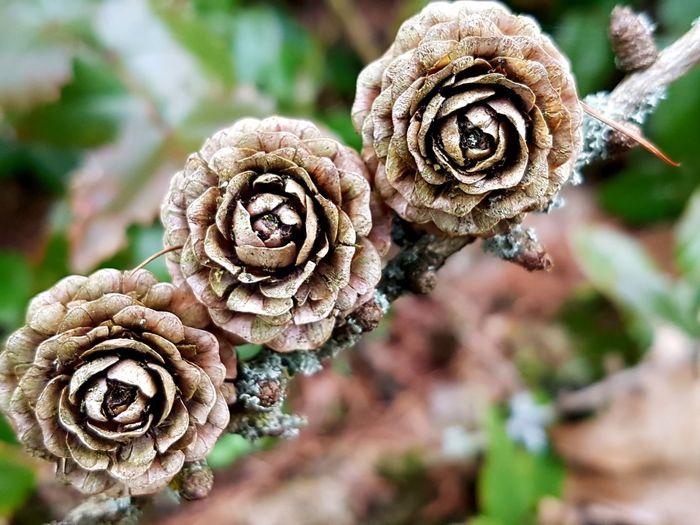 Lärchensporn Lärchenholz Zapfen Botany Botany Close Up Focus On Details Focus On Object Background Defocus Defocused Background Defocused EyeEm Selects Spiral Close-up Plant Pistil Uncultivated Plant Life Tendril Stamen
