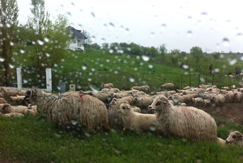 Rainy day in Transylvania Rain Rainy Day Oi Sheeps Sheep RainyDay Raindrops Transylvania Romania Romaniamagica Romaniafrumoasa Flock Visitromania Ciaobucarest Animals April