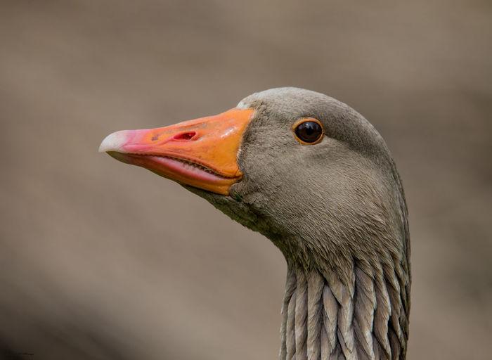 Close-up of goose looking away