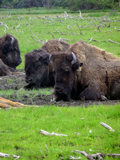 High Angel View American Bison Sitting On Field