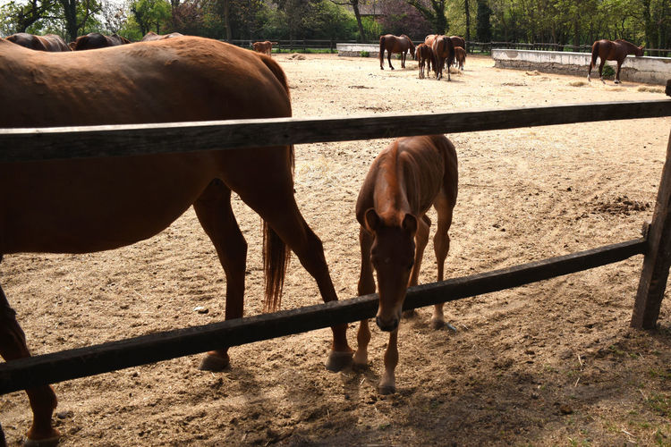 Beautiful hungarian gidran foal is following her mother and staring outside the barn
