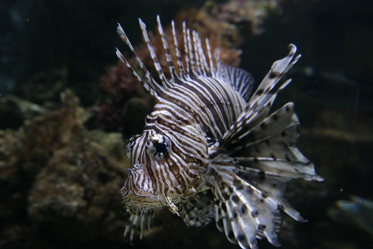 Animal Themes Lionfish Lionfish (Pterois Volitans) Nature No People Ocean Oceanarium Sea Sea Life Sea Life Aquarium UnderSea Underwater Water Fish Fish Photography Fishporn Germany🇩🇪 Place To See Place To Visit Tourist Attraction  Impressive Premium Premium Collection The Great Outdoors - 2017 EyeEm Awards