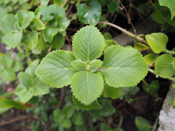 Oregano leaves in the backyard Close-up Fragility Freshness Green Color Growth Herb High Angle View Leaf Leaves Nature No People Oregan Coast Plant Plant Part Selective Focus Tranquility