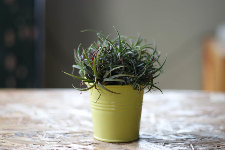 Beauty In Nature Close-up Day Flower Flower Head Fragility Freshness Green Color Growth Horizontal Indoors  Nature No People Plant Potted Plant