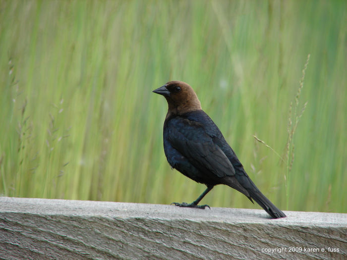 Animal Themes Animal Wildlife Animals In The Wild Bird Blackbird Brown-headed Cowbird Day Fence Fences Grasses Nature New Jersey Photography No People One Animal Outdoors Perching Wood - Material