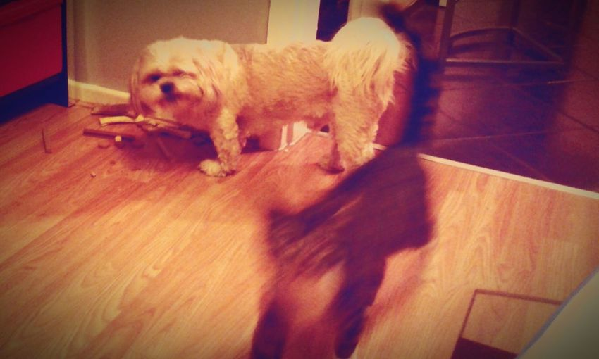 Nusey and Leon playing together ♡♥ Cat Dog Cute Playing Haha :) Love Pet Lover Sm:)e Hi World !