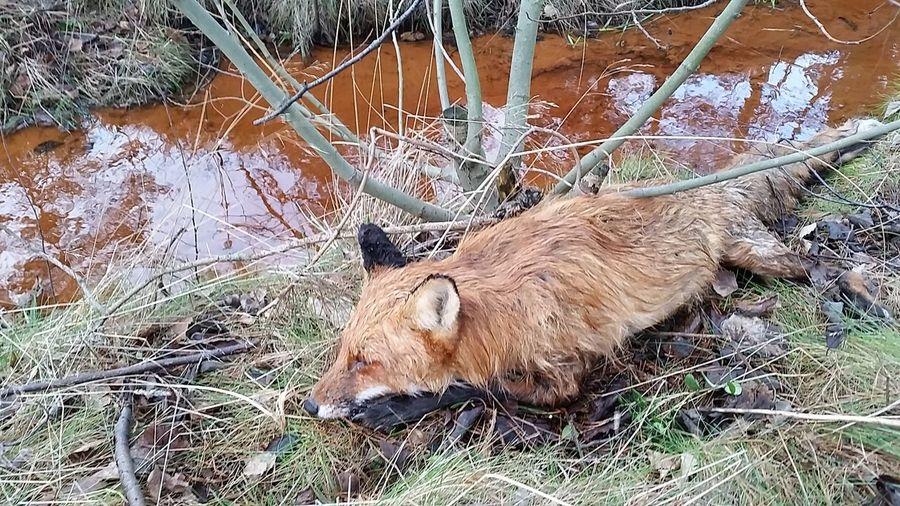 Fox Poisonous, Park, Forest Nature Dead Animal