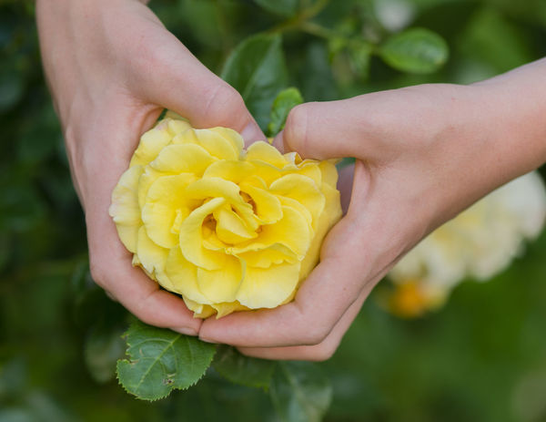 The Yellow rose Breeding Hamburg Nature Plant Rosaceae Blossoms  Heart Form Heart Formation Ornamental Plant Park Plant Type Rose Hips Rose Oil Rose Plant Rose🌹 Rosé Stings Town Park Wild Roses Yellow