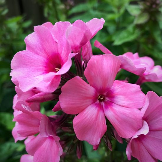 First blooms of the season 🌺 Beauty In Nature Phlox Flowers Pink Flower Blooming Outdoor Photography Summer 2017 🏊🌞 Flower Photography Flowers,Plants & Garden Flowers, Nature And Beauty