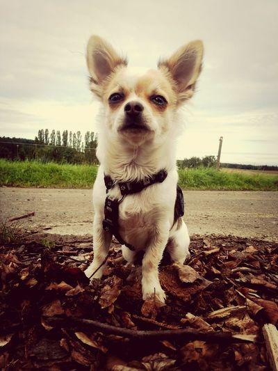 Best Friends I Love My Dog Chihuahua My Dog baby :*