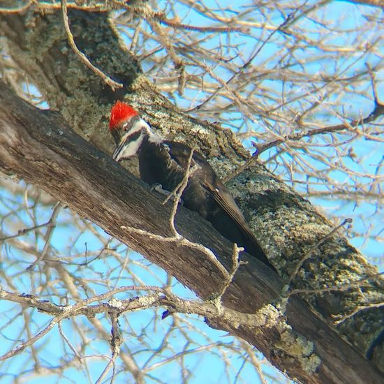 🐦❄ Pileated Woodpecker looking for food on this cold morning.... Took this shot with my #lgv20 mounted to a pair of binoculars. #outdoors #nature #wildlife #birdwatching #trees #blueskies Pileated Woodpecker Woodpecker Big Bird Red In Nature Bird Photography Bird In A Tree Red Head Bird Colors Of Nature Lgv20 Wildlife Birdwatching Trees Blueskies Tree Branch Day Low Angle View No People Outdoors One Animal Nature Close-up Animal Themes Animals In The Wild Beauty In Nature Sky Perching Bird