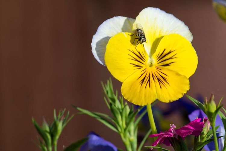 Pansy and the Fly Flower Insect Yellow One Animal Animal Themes Petal Bee Nature Fragility Plant Freshness Beauty In Nature Outdoors Day No People Flower Head Growth
