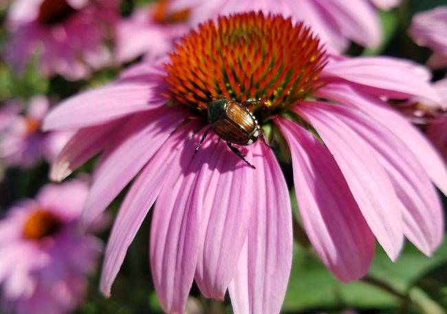 Beetle June Beetle June Bug Close-up Outdoors Beauty In Nature Pollen Focus On Foreground High Angle View Eastern Purple Coneflower Fragility PollinationFlower Freshness Flower Head Insect Coneflower