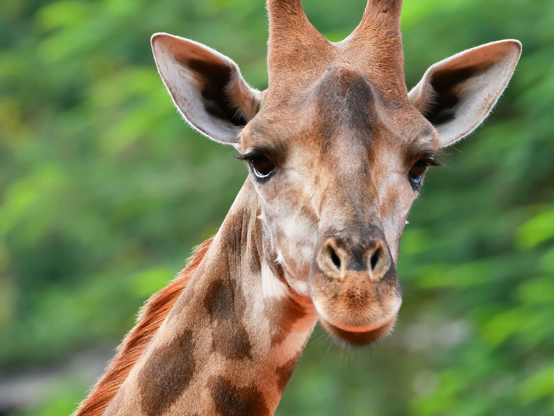 Giraffe Giraffe Head Giraffe♥ Animal Head  Animal Themes Animal Wildlife Animals In The Wild Close-up Day Giraffe Portrait Looking At Camera Mammal Nature One Animal Portrait