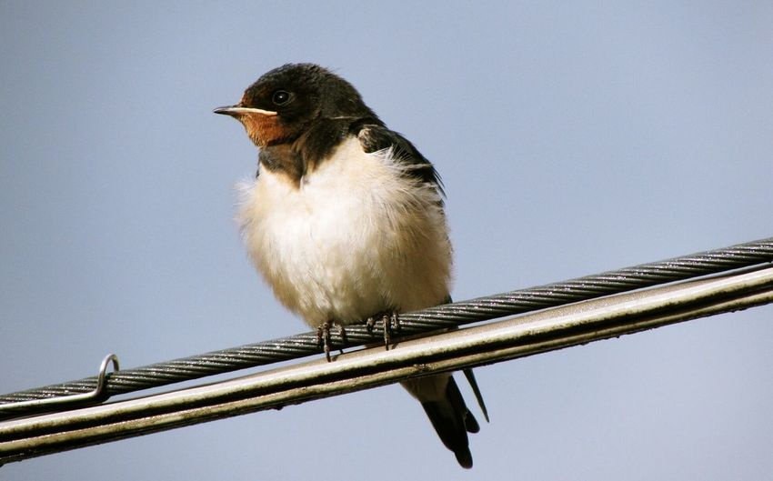 Little swallow . Swallow Little Swallow Bird Photography Perfect Shot Capture The Moment From My Point Of View Nature Watching Naturelovers Hello World