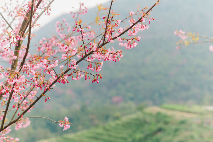 Beauty In Nature Blossom Branch Close-up Day Flower Flower Head Focus On Foreground Fragility Freshness Growth Low Angle View Nature No People Outdoors Petal Pink Color Plum Blossom Sky Springtime Tree