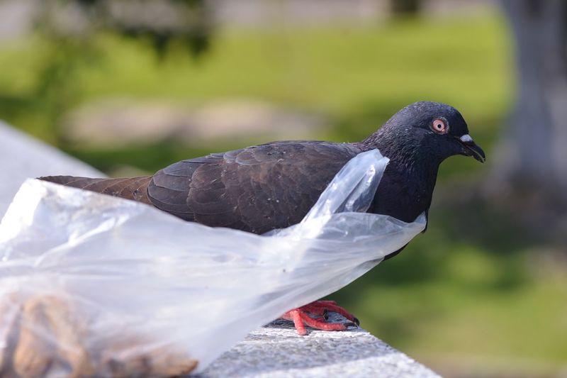 Pigeon With Plastic Bag