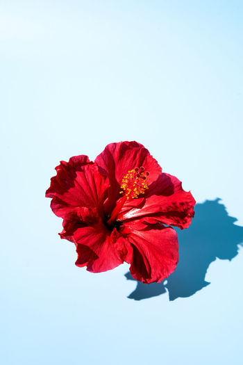 Close-up of red hibiscus flower against sky