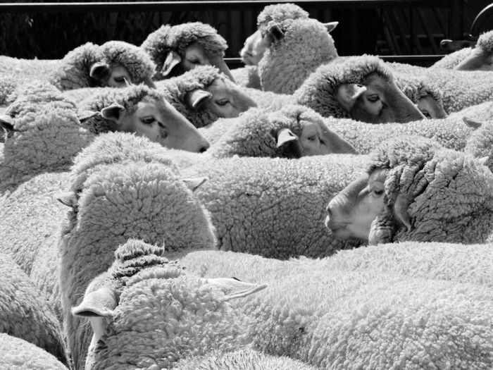 Animal Themes Domestic Animals Livestock Mammal Flock Of Sheep Large Group Of Animals No People Sheep Day Outdoors