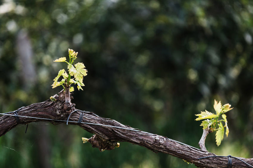 Beauty In Nature Branch Close-up Day Focus On Foreground Fragility Green Color Growth Leaf Lichen Nature No People Outdoors Plant Plant Part Selective Focus Sunlight Tranquility Tree Vine Vineyard Vulnerability  Wood - Material