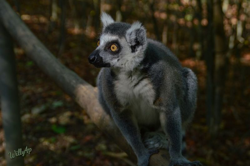 Lemure Lemur Catta Cattas EyeEm Nature Lover Zoology Animal Eye Affenpark Nature Lover Naturelovers EyeEm Best Shots - Nature Nature Photography Naturephotography Nature_perfection Nature_collection Naturelover Natur Pur Nature Focus On Foreground Wildlife Affenliebe