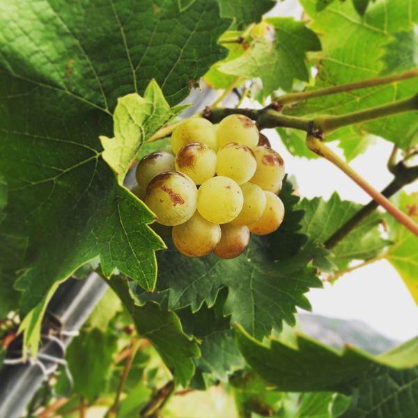 Wine Vendanges Vinho Vino Raisins Raisin Igercorse Patrimonio Stflorent