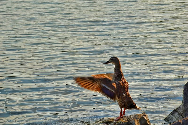 Duck with spread wings perching on rock against river