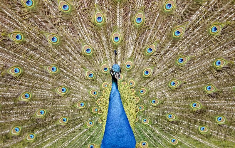 Full frame shot of peacock with fanned out