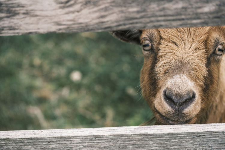 Goat behind a fence with vivid eyes