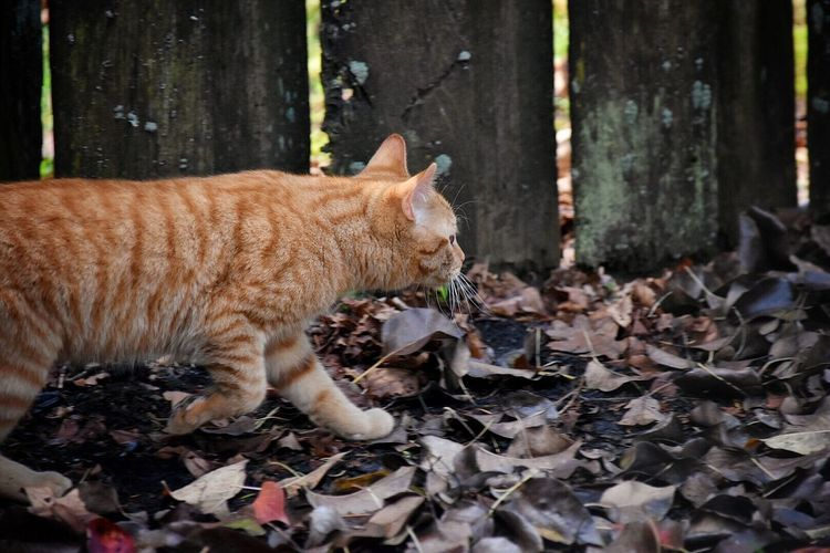 One Animal Nature No People Animal Themes Forest Mammal Domestic Animals Outdoors Day My Pets Outdoor Photography Outside Photography Pet Photography  Feline Portraits Cats Of EyeEm Cat Pets Of Eyeem Backyard Photography Ginger Cat Pets Cats Domestic Cat Feline My Cat Pet