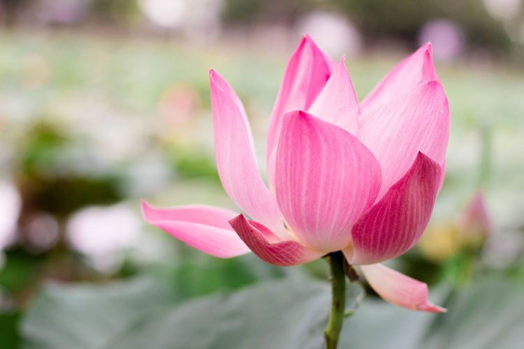 See the lotus flower in Korat temple Beauty In Nature Close-up Flower Flower Head Flowering Plant Focus On Foreground Fragility Freshness Growth Inflorescence Leaf Lily Lotus Water Lily Nature No People Outdoors Petal Pink Color Plant Vulnerability  Water Lily